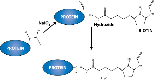 Carbohydrate coupling