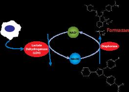 cell cytotoxicity, measure cell cytotoxicity