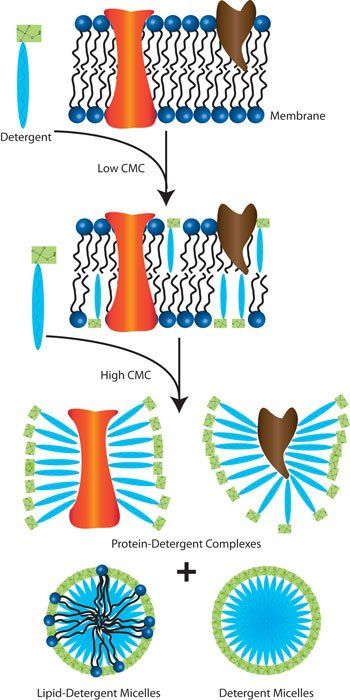 Importance Of Detergent Micelle Levels In Membrane Protein