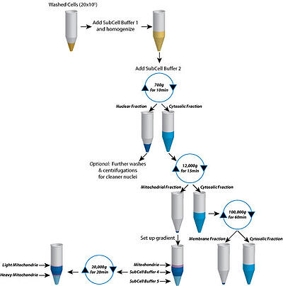 The use of differential centrifugation to enrich nuclear, membrane, cytosolic and mitochondrial fractions