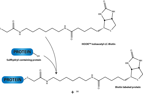 Iodoacetyl coupling reaction