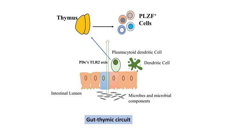 Exposure to Intestinal microbes in early life can influence development of thymic lymphocytes : A review of current literature