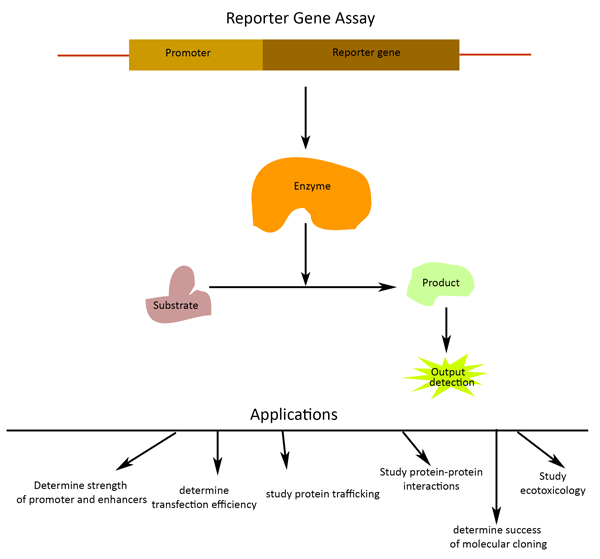role of reporter genes to assay for transcription factors